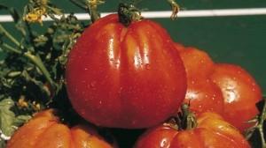 Pomodoro da industria: Italia maggior produttore europeo