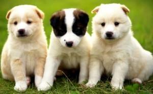 Gelosia dei cani