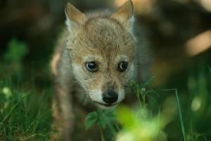 foto Staffan Widstrand WWF