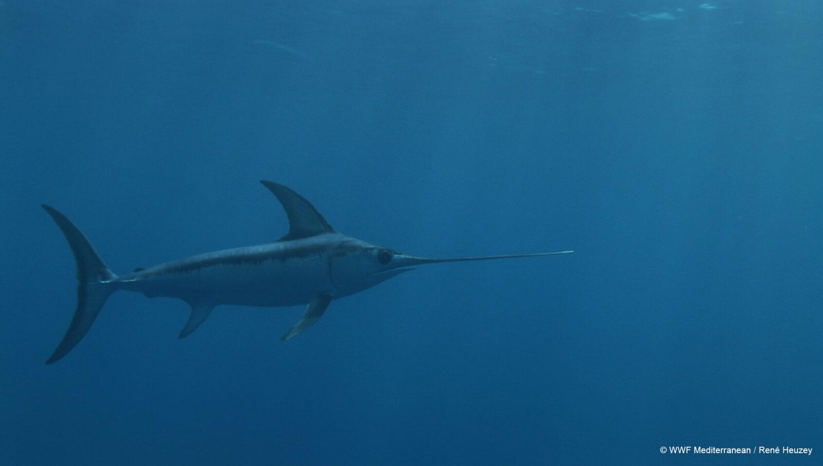 Swordfish Rene Heuzey